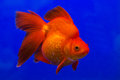 Gold fish Stock Images