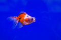Gold fish on blue screen Royalty Free Stock Photos