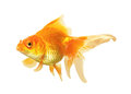 Gold fish isolated on white background Royalty Free Stock Photos