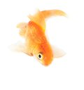 Gold fish. Isolation on the white Stock Image