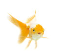Gold fish  Isolation on the white Stock Photo