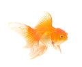 Gold fish  Isolation on the white Royalty Free Stock Photos