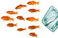 Gold fish and net Royalty Free Stock Photo