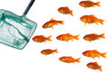Gold fish and net Stock Photography