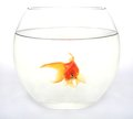 Gold fish in round aquarium Royalty Free Stock Photo