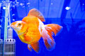 Gold fish in tank Royalty Free Stock Images