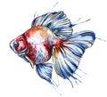 Gold fish vector watercolor illustration. Royalty Free Stock Photo