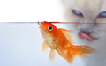 Gold fish at the waterline Royalty Free Stock Photo