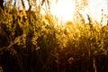 Gold meadow Stock Photos