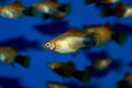 Gold Mickey Mouse Platy Royalty Free Stock Photo