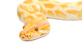 Gold Python,Abino snake Royalty Free Stock Photos