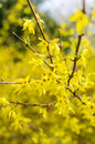 Gold rain bush golden forsythia x intermedia Royalty Free Stock Photos