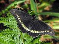 Gold Rimmed Swallowtail Royalty Free Stock Photo