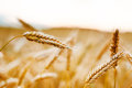 Gold ripe wheat field