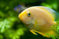 Gold severum south american cichlid in aquarium macro shot Stock Photo