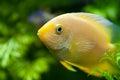 Gold Severum South American Cichlid in Aquarium