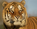 Gold star male amur tiger close up portrait Stock Images