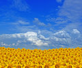 Gold sunflower field Stock Photos