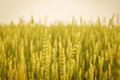 Gold Weat Field Background, young growth Royalty Free Stock Photo