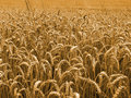 Gold wheat field Stock Image