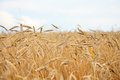 Gold wheat field and blue sky. Idea of a rich harvest Royalty Free Stock Photo