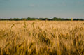 Gold wheat field. Royalty Free Stock Photo