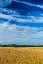 Gold wheat fields and dramatic blue sky in July, Belgium Royalty Free Stock Photo