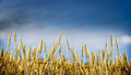 Gold wheat plant on sky background banner for website with farming concept selective focus Royalty Free Stock Images