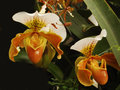Gold and white lady slipper orchids speckled have shaped pouches that trap insects Stock Photo