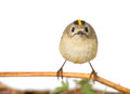 Goldcrest on a white background on a branch Royalty Free Stock Photography