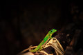 Golddust gecko phelsuma laticauda piece wood Stock Photography