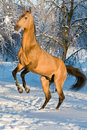 Golden akhal-teke horse portrait Stock Photo