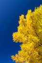 Golden ash Royalty Free Stock Photo