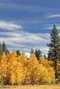 Golden Aspens Royalty Free Stock Image