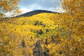 Golden Aspens in Fall in the New Mexico Mountains Royalty Free Stock Photo