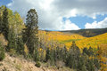 Golden Aspens in Fall, Santa Fe National Forest Royalty Free Stock Photos