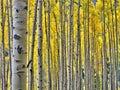 Golden aspens in Rocky Mountain National Park