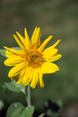 Golden Aster Daisy Like Yellow Wildflower Royalty Free Stock Photo