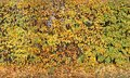 Golden autumn backgound with yellow and green leaves of decoradive garden bush Royalty Free Stock Photo