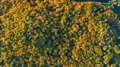 Golden autumn background, aerial drone view of beautiful forest landscape with yellow trees from above Royalty Free Stock Photo