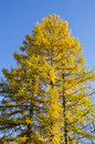 Golden autumn larch tree Stock Photos