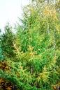 Golden autumn larch tree on blue sky background