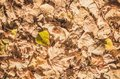 Golden autumn leaves dense homogeneous layer of fallen in the forest Royalty Free Stock Photo