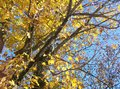 Golden autumn maple a tree displays it s last splash of in a vibrant yellow leaf color a deep blue cloudless sky hangs in the Stock Images