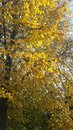 Golden autumn yellow leaves on the tree Royalty Free Stock Photo