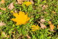 Golden autumn. Yellow maple leaf on green grass. Falling leaves in the Park Royalty Free Stock Photo
