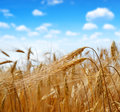 Golden barley Royalty Free Stock Photo
