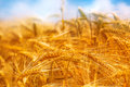 Golden barley field, selective focus Royalty Free Stock Photo