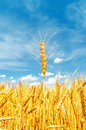 Golden barley on field Royalty Free Stock Photo