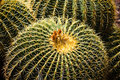 Golden Barrel Cactus Royalty Free Stock Photo